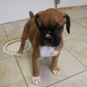 Oakwood BOXER PUPPIES